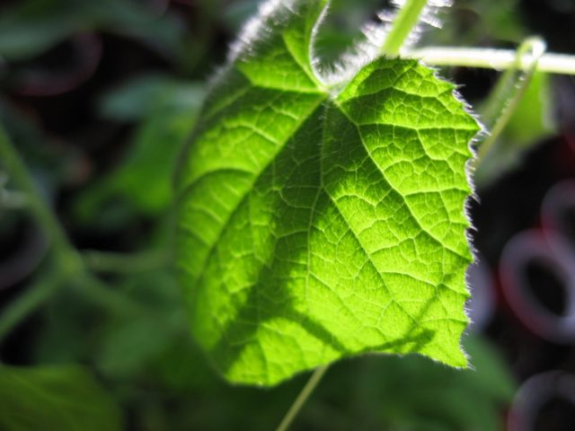"""Cách trồng giống dưa chuột """"quái đản"""" nhất thế giới không khó - cach trong giong dua chuot quai dan nhat the gioi khong kho 7 640x480"""
