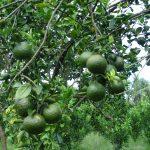 Nuôi lợn, trồng cam bỏ túi 700 triệu đồng/năm - dsc03213 jpg 150x150