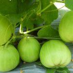 Kỳ lạ trồng dưa lê qua... mạng Internet - dua le 150x150