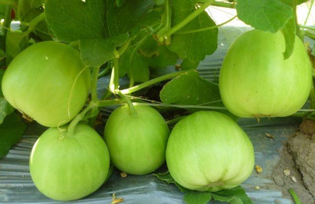 Kỳ lạ trồng dưa lê qua... mạng Internet - dua le 640x416