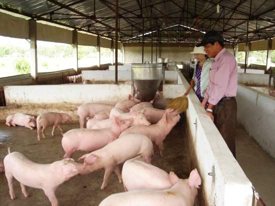 Cách làm… khác người của chủ trang trại lợn tiền tỷ - heo htd ede9b