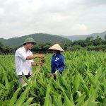kĩ thuật trồng và chăm sóc cây nghệ - images692654 tr3 150x150