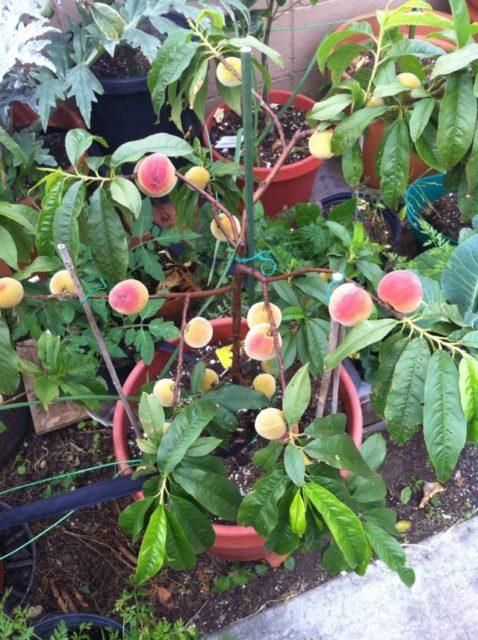 Trồng cây ăn quả trong chậu - trong cay an qua trong chau 18 478x640