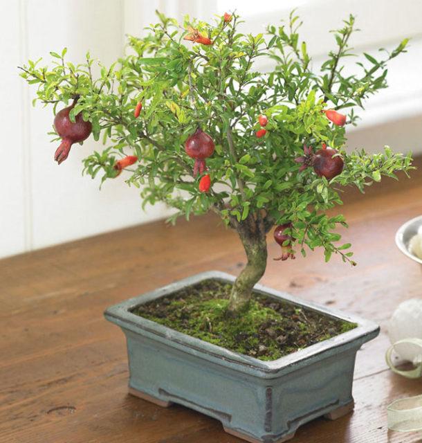 Trồng cây ăn quả trong chậu - trong cay an qua trong chau 7 610x640