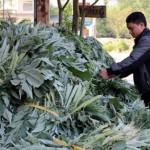 Trồng cây atiso thu tiền tỷ mỗi năm