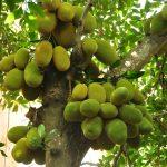 """""""Sướng đời"""" có được cây mít tố nữ gần 300 trái mọc chi chít tận gốc"""