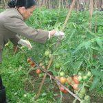 Kỹ thuật trồng và chăm sóc cây cà chua lai VT3, VT4, C95 và C155 - 040313133309 150x150