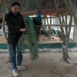 Hướng dẫn cách làm trang trại chim công vừa đẹp, vừa đơn giản