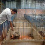 Kĩ thuật phối giống nhân tạo tăng năng suất chăn nuôi nhím
