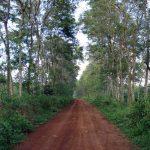 Kỹ thuật trồng và chăm sóc cây muồng đen