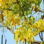 Kĩ thuật trồng và chăm sóc cây Muồng hoàng yến