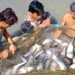 Kỹ thuật nuôi cá thát lát cườm
