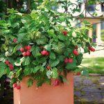 Trồng mâm xôi đơn giản cho trái ngọt mùa hè - 1426740595 brazelberries raspberry shortcake in square terra cotta pot 150x150
