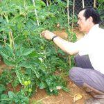 Kỹ thuật trồng cà chua - 1436805691 gfbkca chua 2 mnpy 150x150