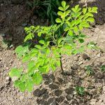"""3 tháng trồng chùm ngây, món rau """"bổ gấp 7 lần cam"""" - 1462374596 1415081223 pic3 150x150"""