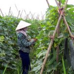 Kỹ thuật trồng, chăm sóc cây bí xanh - 1 thon ao 150x150