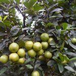 Trồng cây chanh không hạt cho trái quanh năm