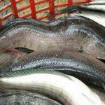 Bệnh thiếu vitamin ở cá