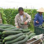 Kinh nghiệm trồng bí xanh trái vụ ở Diễn Lộc - 55c04fb7a37dc 150x150