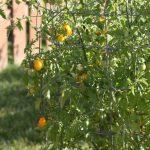 Cà chua bi hình trái lê gây sốt tại Việt Nam - 55c961cc20825 150x150