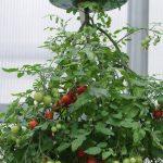 Độc đáo cách trồng cà chua lộn ngược sai trĩu trịt quả - 55dafb418ef33 150x150