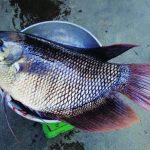 Nuôi cá tai tượng an toàn sinh học cho năng suất cao - 55de610fec09f 150x150