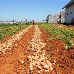 Phân NPK Văn Điển chuyên dùng để bón cho khoai tây