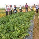 Kỹ thuật trồng dưa, bí bò đất cho năng suất cao