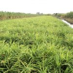 Kỹ thuật trồng gừng và phòng trừ sâu bệnh hại gừng - 560aa4bdc5e1e 150x150
