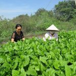 Quy trình sản xuất rau mồng tơi an toàn