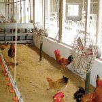Biện pháp chóng nóng cho gia súc, gia cầm - 560e44eed14d9 150x150