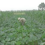 Kỹ thuật trồng bí xen ngô nếp - 5612718aad0f4 150x150
