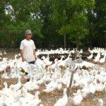 Kỹ thuật chăn nuôi vịt thả vườn khỏe mạnh, năng suất cao - 562ee88a7e65a 150x150