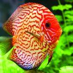 Một số loài cá cảnh đẹp nhất - 5637e562bb823 150x150