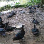 Mô hình chăn nuôi vịt xiêm hiệu quả
