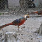 bí quyết nuôi chim trĩ bảy màu sinh sản cao - 564e8c35ac39a 150x150