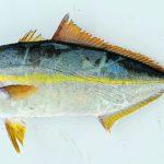 Cá cam sọc – đối tượng nuôi mới đầy tiềm năng