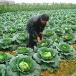 Kỹ thuật trồng và chăm sóc cây cải bắp