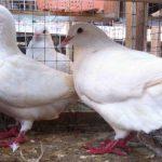 Hướng dẫn kỹ thuật chọn chim bồ câu Pháp giống