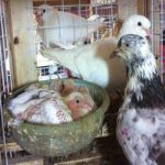 Kỹ thuật nuôi chim bồ câu - 56871605030aa 150x150