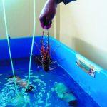 Quy trình nuôi tôm hùm bông trong bể - 568a7240868da 150x150