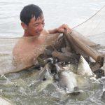 Kỹ thuật ương cá chẽm (cá vược) giống