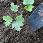 5 bước cực dễ để trồng đậu bắp sai trĩu quả