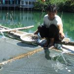 Quảng Ngãi: Cá bớp nhiễm bệnh, chết hàng loạt