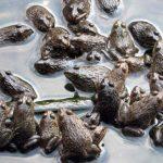 Kỹ thuật nuôi công nghiệp ếch Thái Lan - 57072d687f381 150x150