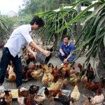 """Mô hình nuôi gà """"sạch"""" không dùng thức ăn công nghiệp ở Quảng Ngãi"""