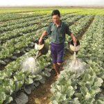 Quy trình sản xuất rau bắp cải an toàn