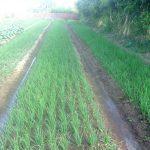 Mô hình trồng rau sạch VietGAP ở Kbang - 5715dc29c4ebc 150x150