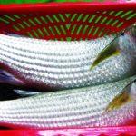 Sóc Trăng: Khả quan nuôi cá đối mục trong ao - 57218b4b285ac 150x150