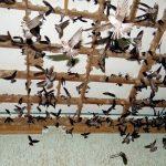 Nuôi chim Yến trong nhà, tiềm năng còn rất lớn - 5742e018290fa 150x150